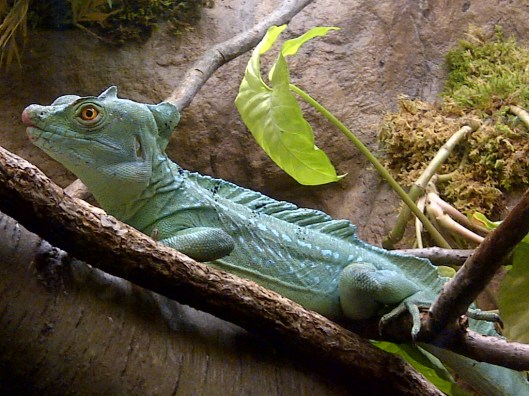 an indonesian basilisk at California Academy of Science last year