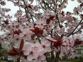 Oakland Cherry Blossoms 2012